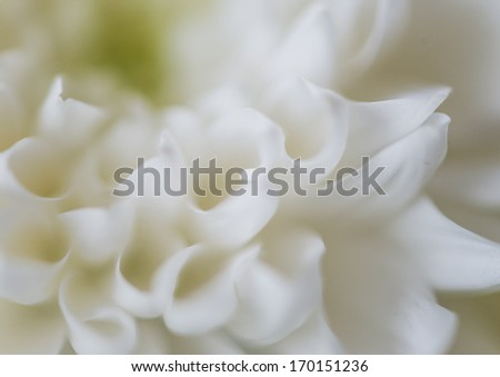 A macro shot of a white chrysanthemum bloom.