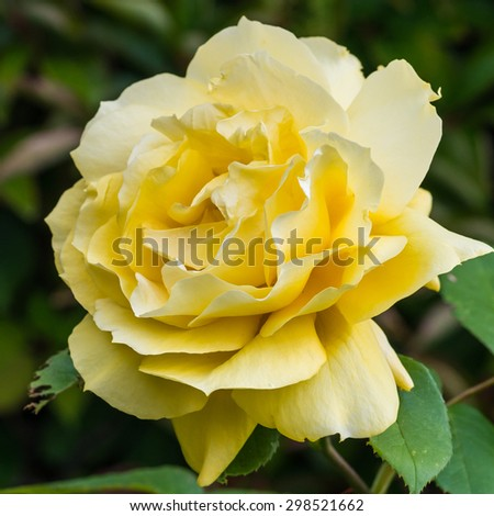 A macro shot of a yellow Queen Mother rose. - stock photo