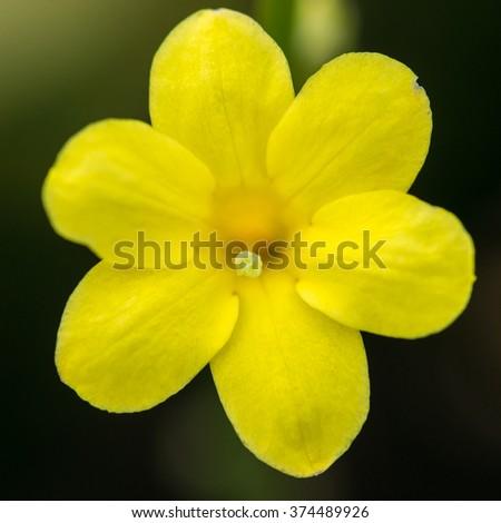 A macro shot of a yellow winter jasmine bloom. - stock photo
