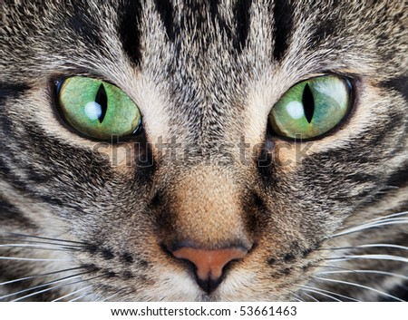 A macro shot of a young tabby cat's face.  Focus on his gorgeous green eyes! - stock photo
