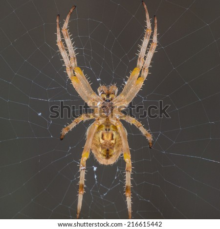 A macro shot of an orb weaver spider hanging in its web. - stock photo