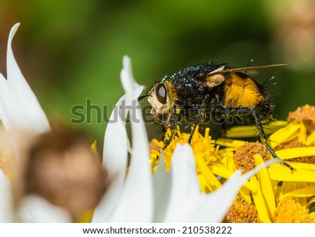 A macro shot of an ugly looking fly sitting on some garden flowers.