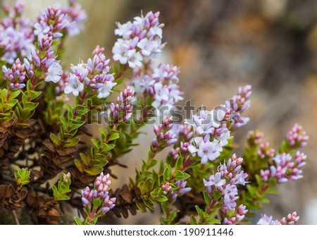 A macro shot of flowers of a hebe bush. - stock photo