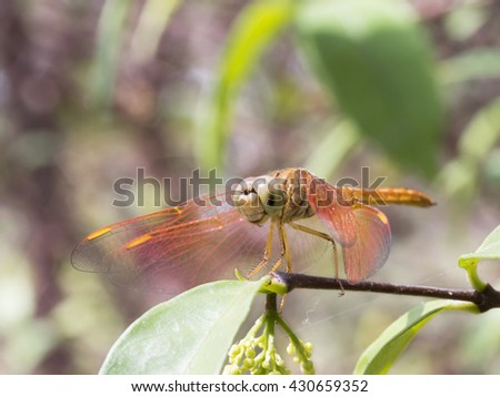 A Macro Shot of Red Dragonfly spreading Wings looking left for Insects Collections and Macro Nature Backgrounds. - stock photo