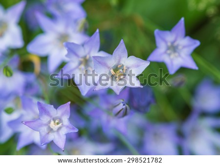 A macro shot of some blue grassnut blooms. - stock photo