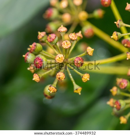 A macro shot of some flowering ivy berries forming. - stock photo