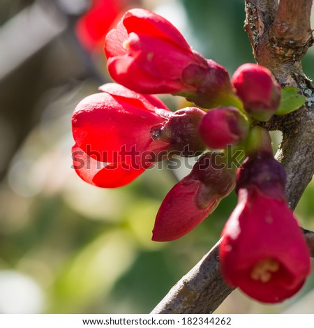 A macro shot of some quince blooms catching the sunlight. - stock photo
