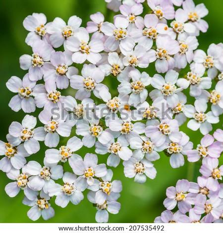 A macro shot of some yarrow blossom. - stock photo