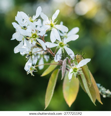 A macro shot of the blossom of an amelanchier tree. - stock photo