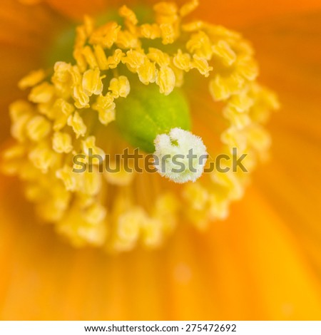 A macro shot of the centre of a Welsh poppy. - stock photo