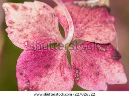 A macro shot of the pink bracts of a hydrangea bush. - stock photo