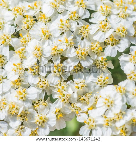 A macro shot of the white blossom of a yarrow plant.