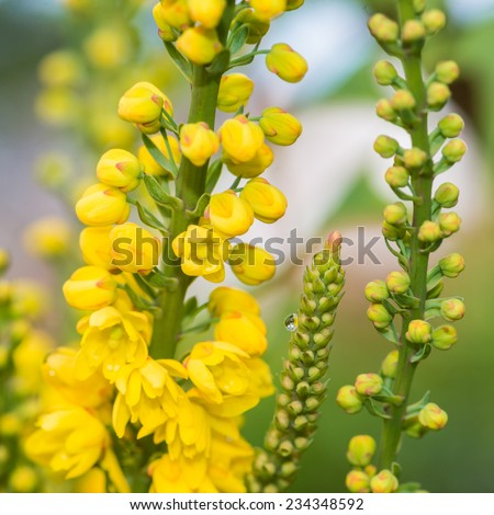 A macro shot of the yellow blossom of a mahonia japonica bush. - stock photo