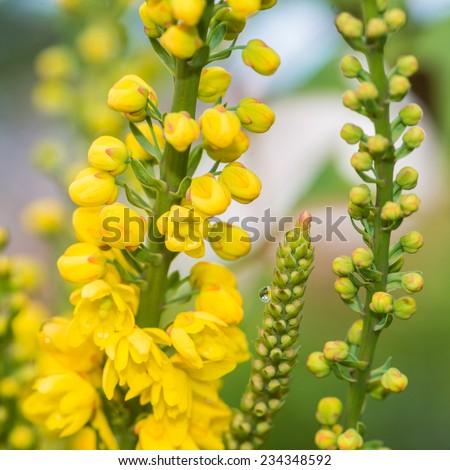 A macro shot of the yellow blossom of a mahonia japonica bush. - stock photo