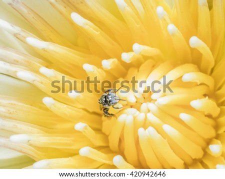 A Macro Shot Top View of Yellow Lotus Pollen and a Bee Collecting food for Flowers Background Yellow. - stock photo