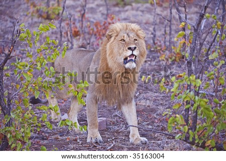 A magnificent African Male Lion comes out of the Bush alert for a nearby rival - stock photo