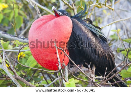a magnificent frigate bird fully inflated in genovesa island, galapagos - stock photo