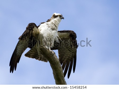 A magnificent Osprey perched on a tree top