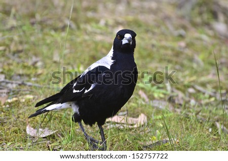 A magpie standing on the ground at Kangaroo Island, South Australia - stock photo