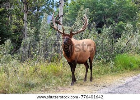 A majestic bull elk shows off his antlers.