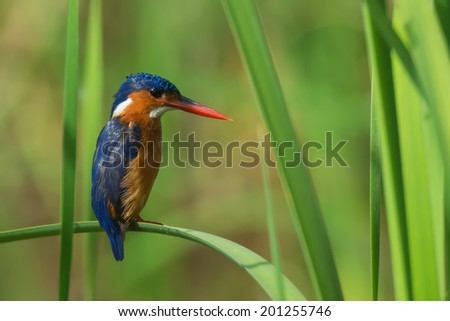 A Malachite Kingfisher (Alcedo cristata) perched on a bent reed - stock photo