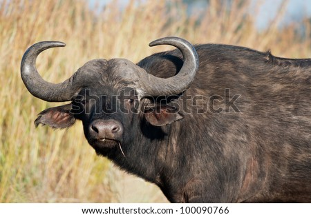 A male African buffalo staring directly at the camera