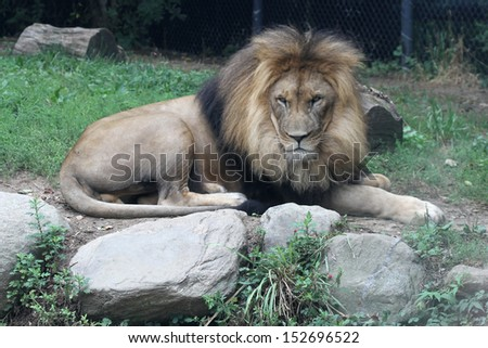 A male African Lion laying on the ground in a zoo