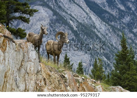 A male and a female bighorn sheep in Banff National Park (Alberta, Canada) - stock photo