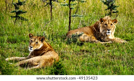A male and a female lion resting in green grass - stock photo