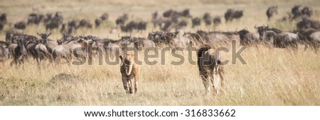 A male and a female lion seen from behind stalk a herd of wildebeest on the African savannah, surrounded by long grass. - stock photo