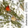 A male and female cardinal sit in an evergreen tree following a snowstorm - stock photo