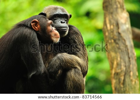 A male and female chimpanzee huddled together - stock photo