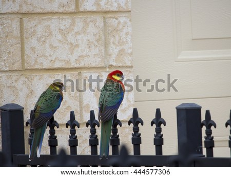 A male and female colorful Australian red Western Rosellas Platycercus icterotis  are perched on  an ornate metal fence on a cloudy winter morning after searching for seeds  in a garden nearby. - stock photo