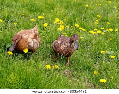 A male and female Khaki Campbell ducks forage in a field of grass and dandelions