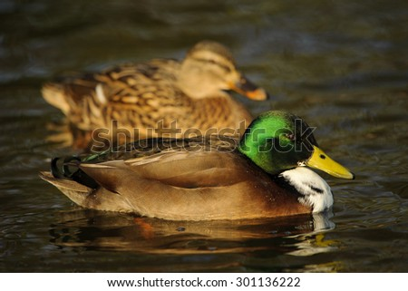 A male and female Mallard Duck or Wild Duck (Anas platyrhynchos) - stock photo