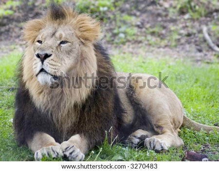 A Male Asiatic lion lying in the sun - stock photo