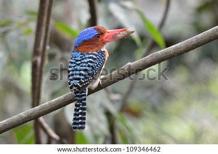 A male banded Kingfisher catch a bug.