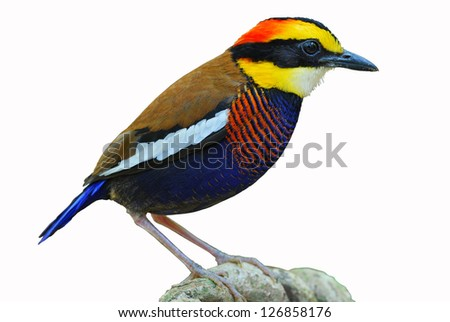 A male Banded Pitta,Malayan Banded Pitta on white background.(Pitta guajana)