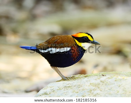 A male Banded Pitta (Pitta guajana), in nature, in Thailand