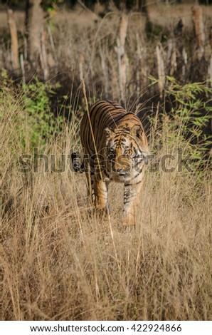 A Male Bengal Tiger marking his territory.Image taken during a tiger safari at Bandhavgarh national park in the state of Madhya Pradesh in India.Scientific name- Panthera Tigris Image Date: 10/01/2016 - stock photo