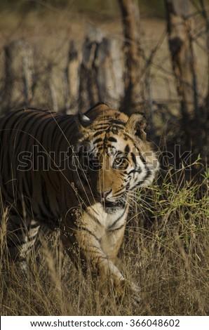 A Male Bengal Tiger walking in tall grass.Image captured during a safari at Bandhavgarh National park in Madhya Pradesh,India Scientific name- Panthera Tigris  - stock photo