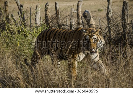 A Male Bengal Tiger walking in tall grass Scientific name- Panthera Tigris  - stock photo