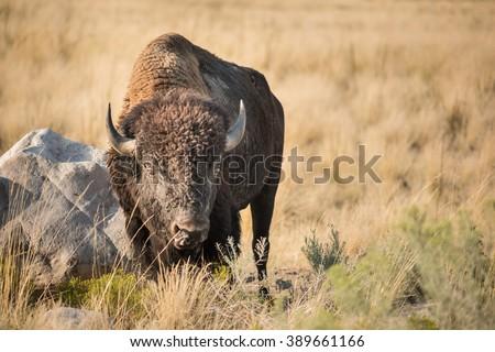 A male bison grazes on grasslands near Great Salt Lake, Utah. - stock photo
