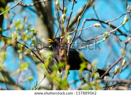 A male blackbird sitting in a treetop chirping. - stock photo