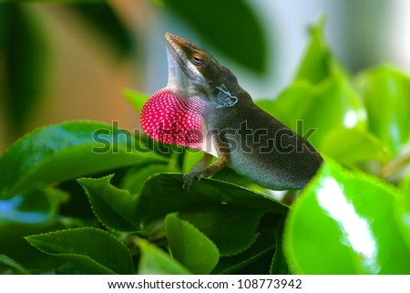 a male Carolina anole (Anolis carolinensis) lizard displays his colored dewlap - stock photo