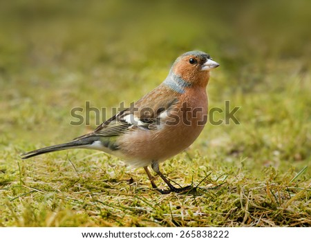 A male chaffinch - stock photo