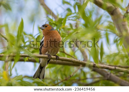 A male Chaffinch on a forest perch in New Zealand.  - stock photo