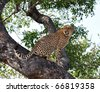 A male Cheetah in a tree in the Kruger Park, South Africa. - stock photo