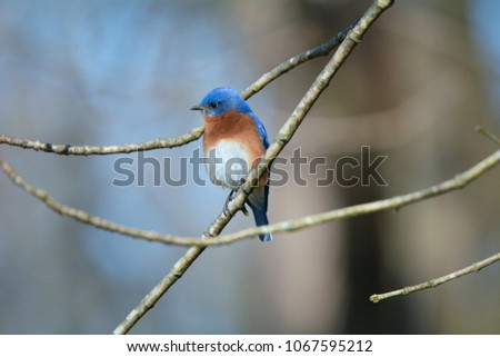 Male eastern bluebird perched on tree stock photo 100 legal a male eastern bluebird perched on a tree branch in early spring location is turkey publicscrutiny Image collections