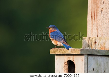 a male eastern bluebird perched on house - stock photo